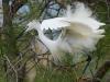 Kleine Zilverreiger, Little Egret, Egretta garzetta