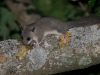 Relmuis, Edible dormouse, Glis glis