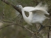 KLeine zilverreiger,Little Egret, Egretta garzetta