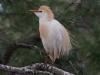 Koereiger, Cattle Egret, Ardeola ibis