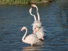 Flamingo, Greater Flamingo, Phoenicopterus ruber
