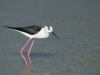 Steltkluut, Black-winged Stilt, Himantopus himantopus