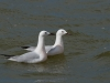 Dunbekmeeuw, Slender-billed Gull, Larus genei