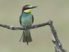 Bijeneter, Bee-eater, Merops apiaster