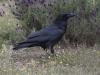 Raaf, Common Raven, Corvus corax