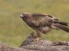 Dwergarend, Booted Eagle, Hieraaetus pennatus