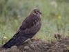 Grauwe Kiekendief, Montagu's Harrier,Circus pygargus