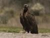 Monniksgier, Monk Vulture, Aegypius monachus