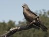 Zwarte Wouw, Black Kite, Milvus migrans