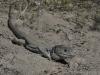 Vale Parelhagedis, Ocellated Lizard, Timon nevalensis