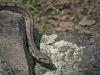 Trapslang, Ladder snake, Elaphe scalaris