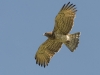 Slangenarend,Short-toed Eagle, Circaëtus gallicus