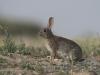 Konijn, Rabbit, Oryctolagus cuniculus