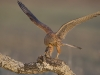 Torenvalk, Common Kestrel, Falco tinnunculus