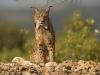 Pardellynx, Iberian Lynx, Lynx pardina
