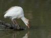 Koereiger, Cattle Egret,Bubulcus ibis