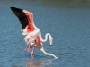 Flamingo, Greater Flamingo ,Phoenicopterus ruber