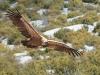 Vale Gier, Griffon Vulture, Gyps fulvus