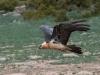 Lammergier, Bearded vulture, Gypaëtus barbatus