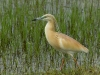 Ralreiger, Squacco Heron, Ardeola ralloides