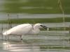 Kleine zilverreger, Little Egret, Egretta garzetta