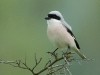 Kleine Klapekster, Lesser Grey Shrike, Lanius minor