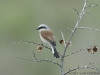 Grauwe Klauwier, Red-backed Shrike, Lanius collurio
