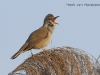 Grote Karekiet, Great Reed Warbler, Acrocephalus arundinaceus