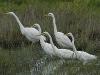 Grote Zilverreiger, Great White Heron, Egretta alba