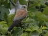 Kleine Torenvalk, Lesser Kestrel, Falco naumanni