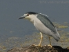 Kwak, Night Heron, Nycticorax nycticorax