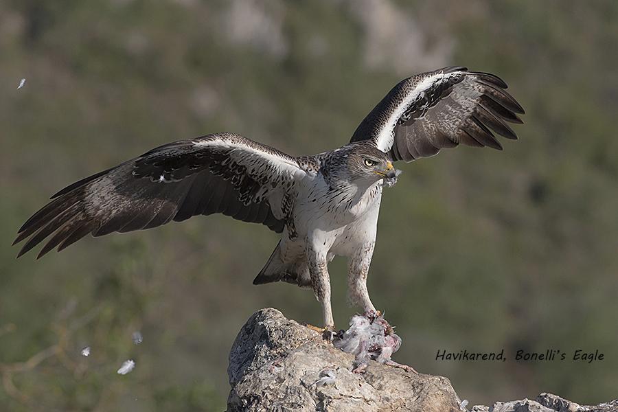 Havikarend, Bonelli's Eagle, Hieraaetus fasciatus