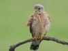 Torenvalk, Kestrel, Falco tinnunculus