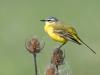 Gele kwikstaart, Yellow Wagtail, Motacilla flava