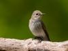 Grauwe Vliegenvanger, Spotted flycatcher, Muscicapa striata