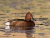 Witoogeend, Ferruginous Duck, Aythya nyroca