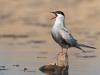 Witwangstern. Whiskered Tern, Chlidonias hybridus