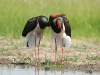 Zwarte Ooievaar, Black Stork, Ciconia nigra