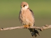 Roodpootvalk, Red-footed Falcon, Falco vespertinus