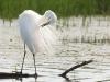 Grote Zilverreiger, Great White Egret, Egretta alba