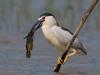 Kwak, Night Heron, Nycticorax nycticorax
