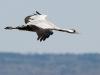 Kraanvogel, Crane, Grus grus