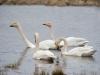 Wilde Zwaan, Whooper Swan, Cygnus cygnus
