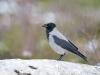 Bonte Kraai, Carrion Crow, Corvus corona cornix