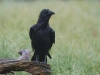 Raaf, Raven, Corvus corax