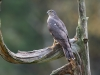 Sperwer, Sparrow Hawk, Accipiter nisus