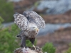 Zeearend,White-tailed Eagle,  Haliaeëtus albicilla