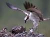 Visarend, Osprey, Pandion Haliaetus