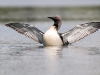 Parelduiker, Black-throated Diver, Gavia arctica