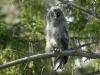 Laplanduil, Great Grey Owl, Strix nebulosa